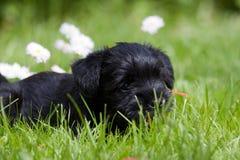 Schnauzer puppy. A small miniature schnauzer puppy Stock Photography