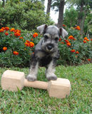 Schnauzer puppy weightlifting. Six weeks old pure breed miniature schnauzer standing on a wooden bone stock images