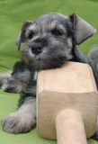 Schnauzer puppy on a woodbone. Six weeks old pure breed miniature schnautzer on wooden bone royalty free stock images