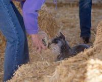 Schnauzer reniflant un tube trouvé après conclusion du rat Images stock