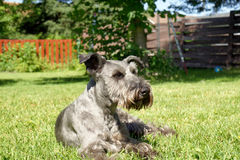 Schnauzer resting on grass. Fun looking Schnauzer dog resting on grass in the backyard Stock Images