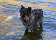 Schnauzer in river Royalty Free Stock Photography