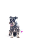 Schnauzer sat panting Royalty Free Stock Photos
