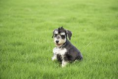 Schnauzer. Originated in Germany in fifteenth Century, it belongs to the terrier Terrier, is only free of British descent varieties. In life we are familiar royalty free stock photos