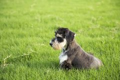 Schnauzer. Originated in Germany in fifteenth Century, it belongs to the terrier Terrier, is only free of British descent varieties. In life we are familiar Stock Photography