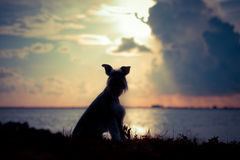 Schnauzer silhouette Royalty Free Stock Photography