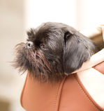 Schnauzer sits in bag Royalty Free Stock Photos