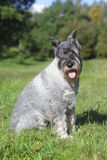 Schnauzer sits on green grass Royalty Free Stock Photography