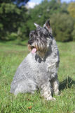 Schnauzer sits on green grass Stock Photos