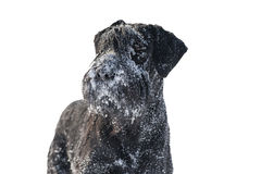 Schnauzer and snow Royalty Free Stock Images