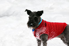 Schnauzer in the snow Royalty Free Stock Images