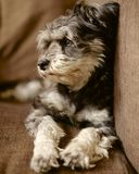 Dog relaxing on the sofa Royalty Free Stock Image
