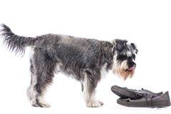 Schnauzer som står över ett par av gamla skor Royaltyfria Bilder