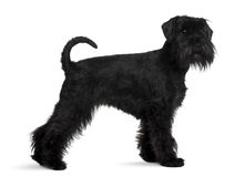 Schnauzer, standing and looking at the camera Stock Images