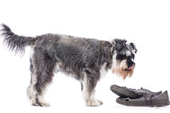 Schnauzer standing over a pair of old shoes Royalty Free Stock Images