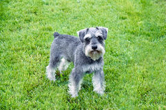 Schnauzer stands in the grass stock images