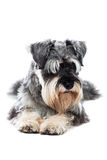 Schnauzer taking a rest Royalty Free Stock Photos