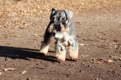 Schnauzer with toy Stock Photography