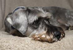 Schnauzer triste Foto de archivo libre de regalías