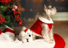 Schnauzer under Christmas Tree Stock Photography