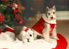 Schnauzer under Christmas Tree Royalty Free Stock Image