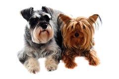 Schnauzer y terrier de Yorkshire que miente en suelo imagen de archivo libre de regalías