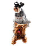 Schnauzer and Yorkshire Terrier. Pets. Schnauzer and Yorkshire Terrier - Dogs on white background. Studio shot Stock Photo