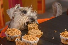 Schnauzerhund, der ein Muffin sich sehnt lizenzfreie stockbilder
