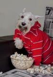 Schnauzerhund, der fernsehen oder ein Film, der auf einem grauen Sofa oder einer Couch mit Popcorn sitzt Stockfotografie