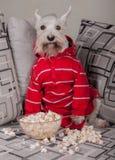 Schnauzerhund, der fernsehen oder ein Film, der auf einem grauen Sofa oder einer Couch mit Popcorn sitzt Lizenzfreie Stockfotografie