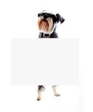 Schnauzerhund, der unbelegte Fahnenanzeige anhält stockbild