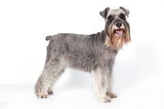 Schnauzerhund I Arkivbild