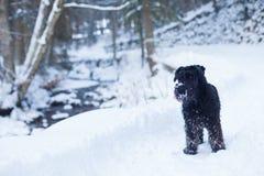 Schnauzerhund i skog Royaltyfria Bilder