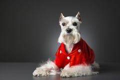 Schnauzerhund mit roter Jacke Stockfotografie