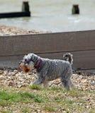 Schnauzerhund på strand Fotografering för Bildbyråer