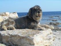 Schnauzerhundavel på en sten på en bakgrund av havet Arkivbilder