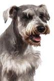 Schnauzerhundstående Arkivfoto