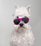 Schnauzerportret in zonnebril Royalty-vrije Stock Fotografie