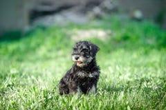 Schnauzerpuppy in een groen gras Royalty-vrije Stock Foto