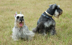 Schnauzers Royalty Free Stock Photos