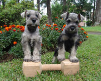 Schnauzers on a bone Stock Image