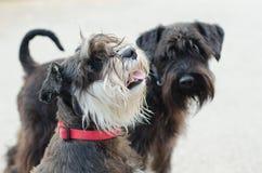 Schnauzers dog royalty free stock photo