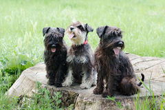 Schnauzers dog. Miniature schnauzers playing in to the park Stock Images