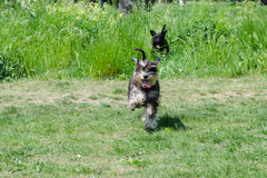 Schnauzers dog. Miniature schnauzers playing in to the park Royalty Free Stock Photo