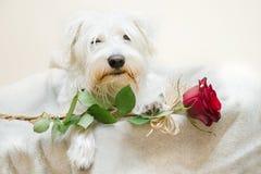 Schnauzers dog Royalty Free Stock Photography