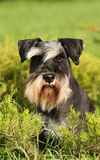 Schnauzers portrate Royalty Free Stock Photo