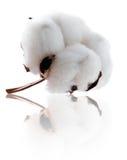 Schöne Baumwolle mit Reflexion Lizenzfreies Stockfoto