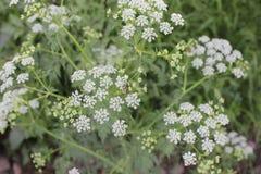 Schöne Blumen auf Landschaften von Asien Lizenzfreies Stockfoto