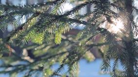 Schöne flaumige Kiefernniederlassung im Wald bei Sonnenuntergang im Winter stock footage