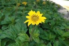 Schöne gelbe Sonnenblume Stockfotos